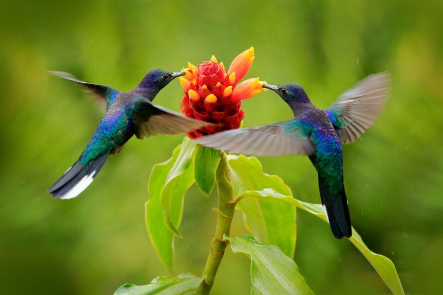two hummingbirds getting nectar from red and orange plant