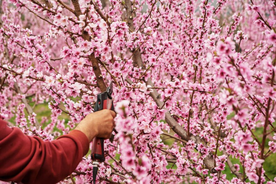 a pink-flowered tree with an arm holding shears