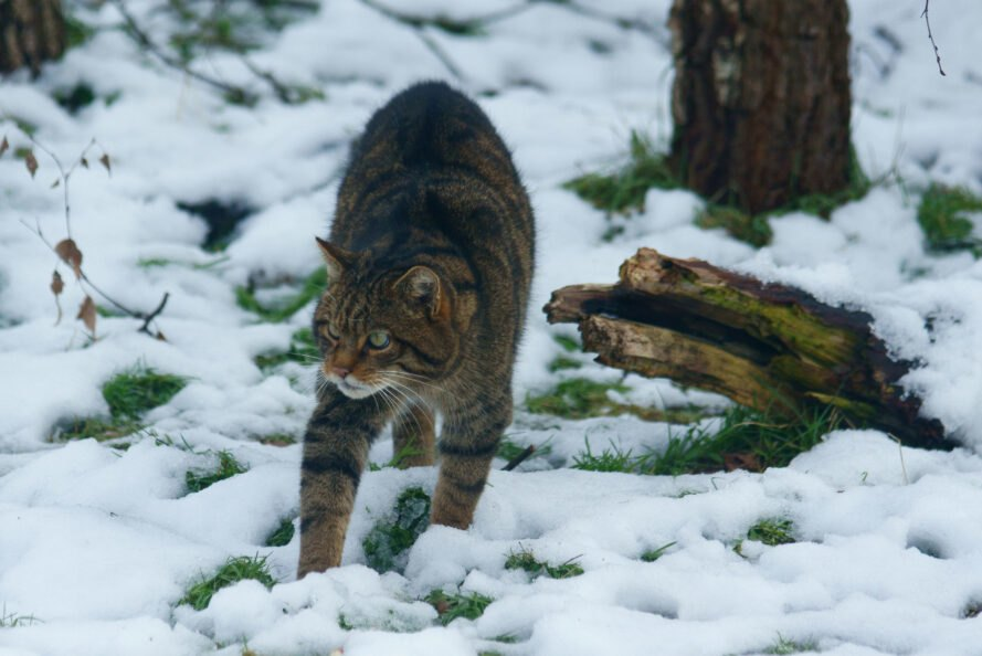 Scottish Wildcat hunting in snowy landscape