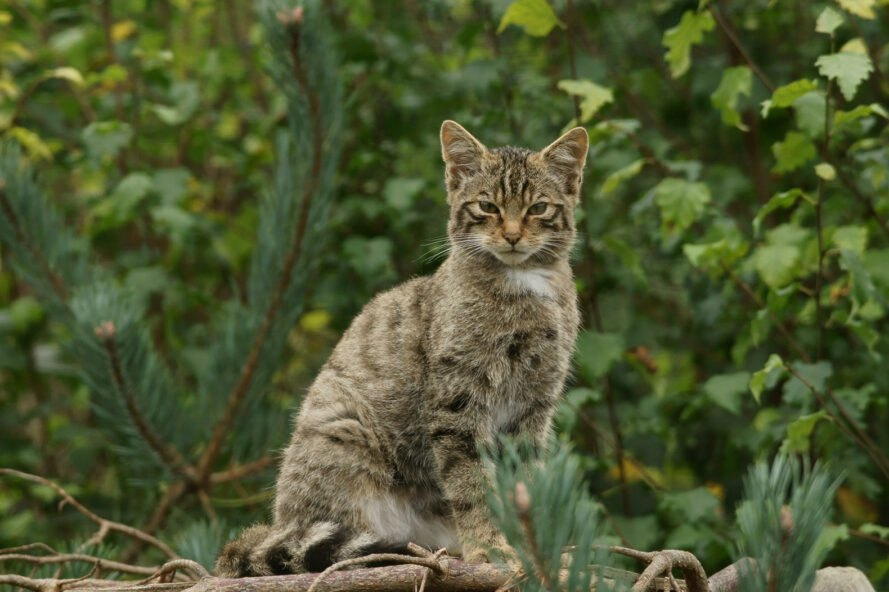 Scottish Wildcat sitting on a log