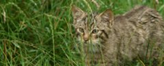 Scottish Wildcat in tall grasses