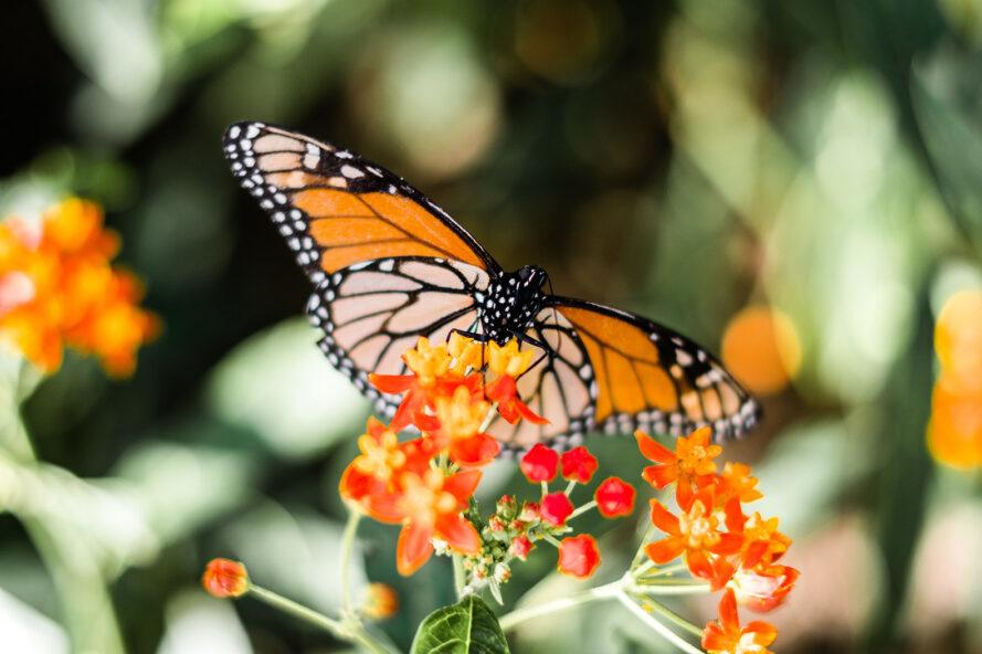 a monarch butterfly resting on an orange flowered plant