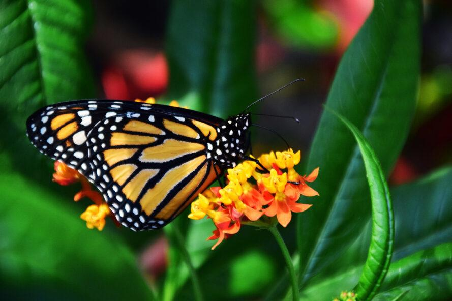 a monarch butterfly resting on an orange flowered plant with greenery in the background