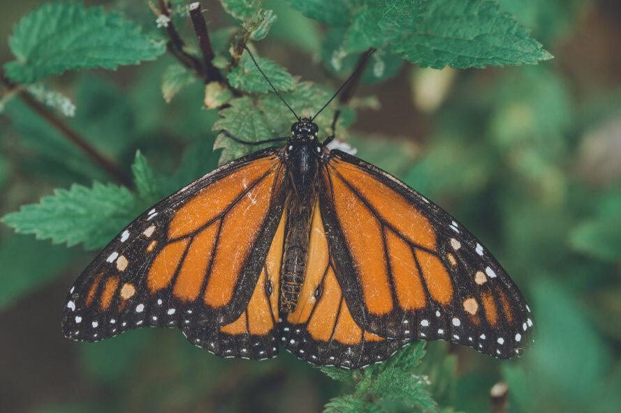 a monarch butterfly on a green-leafed plant