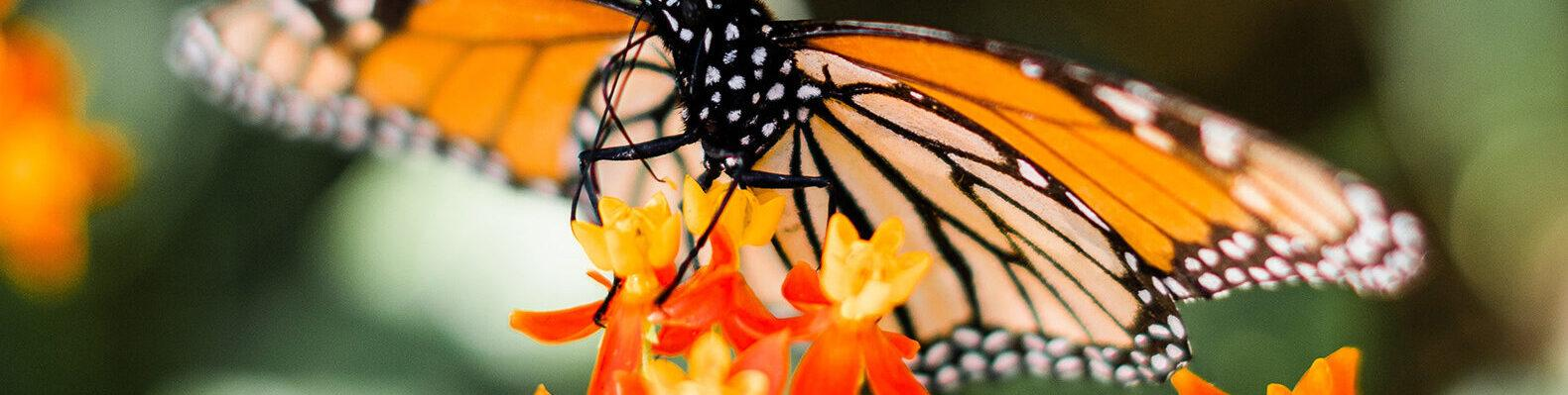 closeup of a monarch butterfly resting on an orange flowered plant