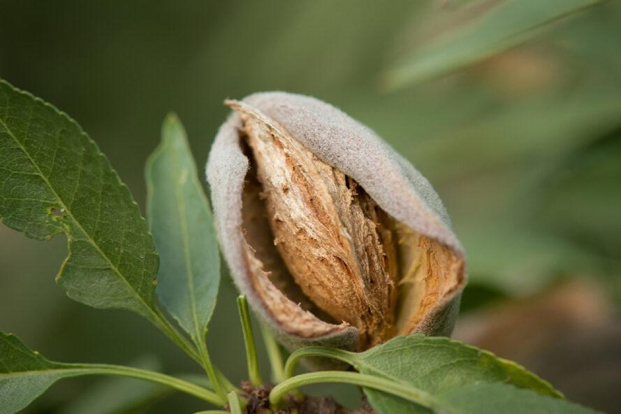 close-up of almond on a tree