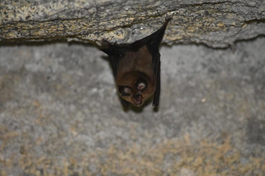 horseshoe bat hanging in a cave