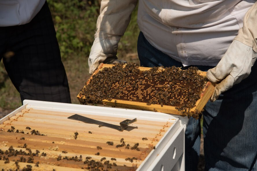 beekeeper pulling out tray of bees and honey from a beehive