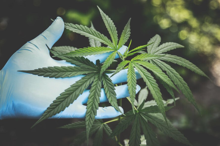 a hand in blue gloves holding a cannabis plant