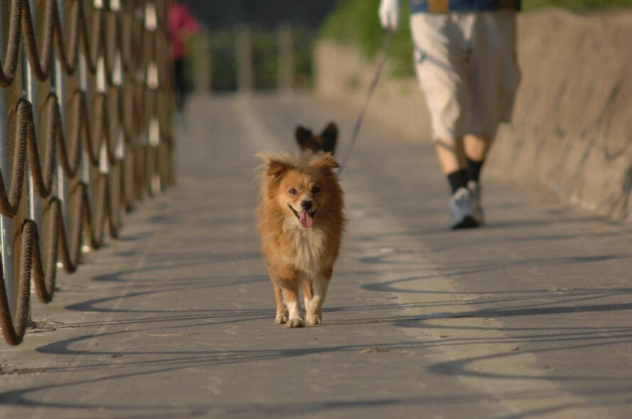 person walking two dogs on a bridge