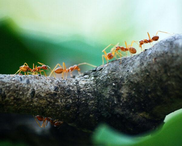 a line of red ants walking across a tree branch