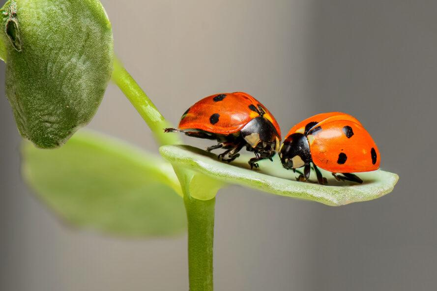 two ladybugs resting on the leaf of a green plant