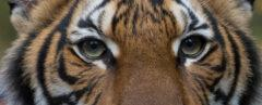Malayan tiger looking at camera with mouth slightly open
