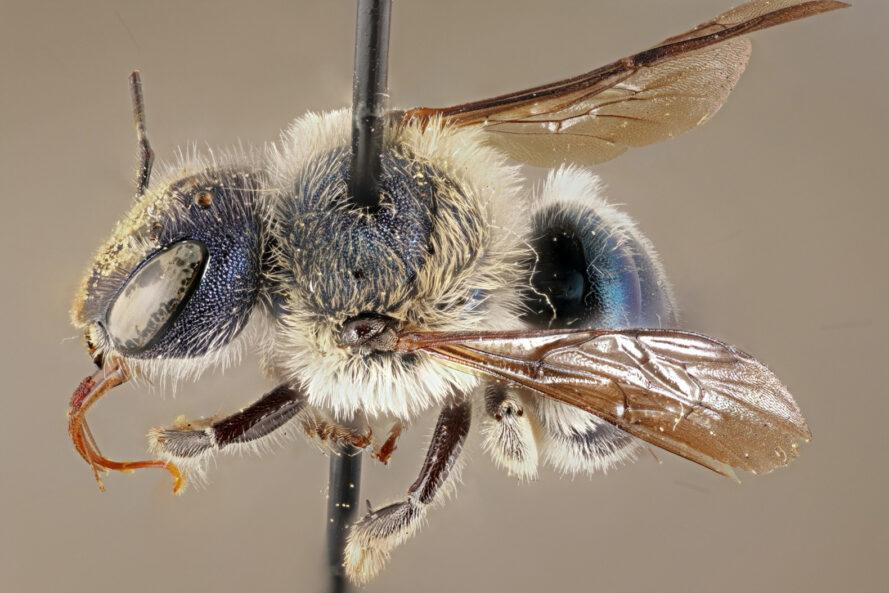 model of Blue Calamintha Bee