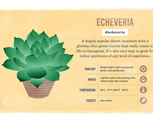 an infographic on the Echeveria plant, featuring a drawing of the plant and information on its sunlight, water and temperature needs and its toxicity
