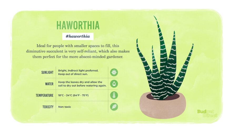an infographic on the Haworthia plant, featuring a drawing of the plant and information on its sunlight, water and temperature needs and its toxicity