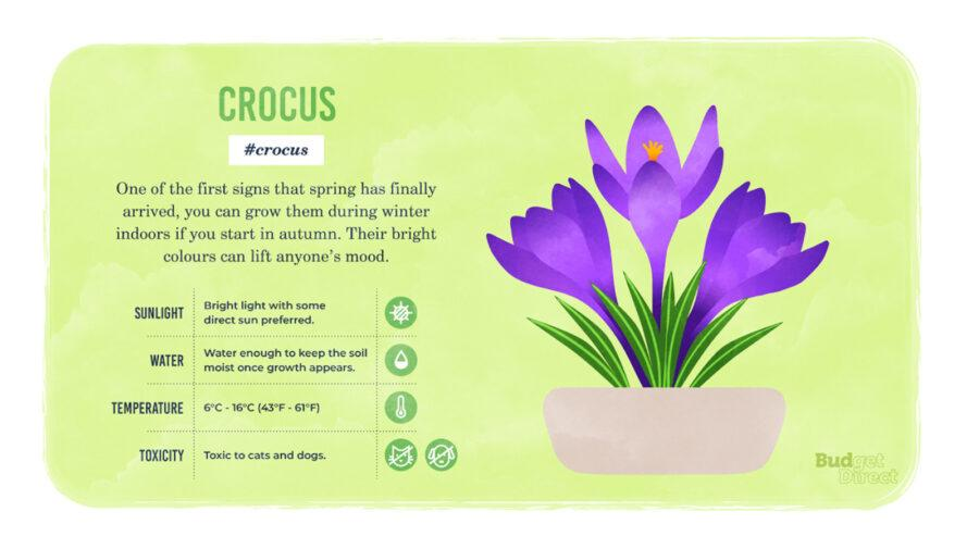 an infographic on Crocus, featuring a drawing of the plant and information on its sunlight, water and temperature needs and its toxicity