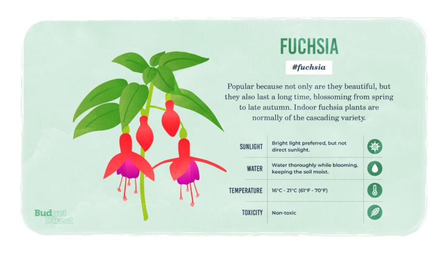 an infographic on the Fuschia plant, featuring a drawing of the plant and information on its sunlight, water and temperature needs and its toxicity