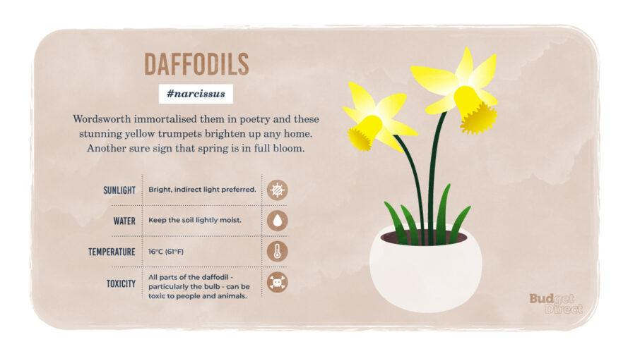 an infographic on Daffodils, featuring a drawing of the plant and information on its sunlight, water and temperature needs and its toxicity
