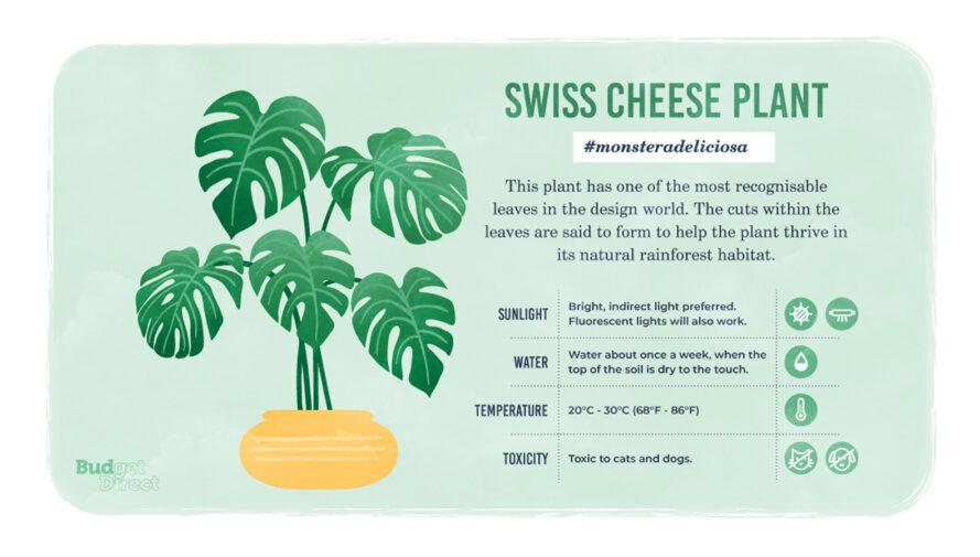 an infographic on the Swiss Cheese plant, featuring a drawing of the plant and information on its sunlight, water and temperature needs and its toxicity