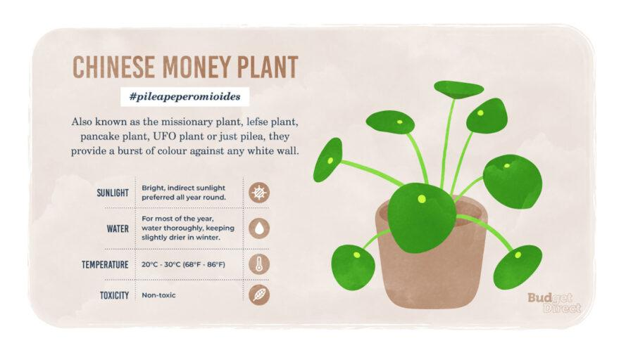 an infographic on the Chinese Money plant, featuring a drawing of the plant and information on its sunlight, water and temperature needs and its toxicity
