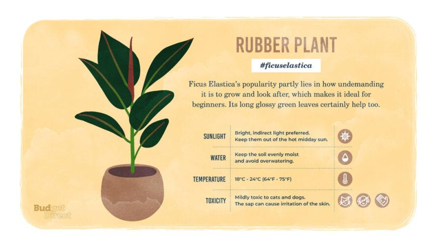 an infographic on the Rubber plant, featuring a drawing of the plant and information on its sunlight, water and temperature needs and its toxicity