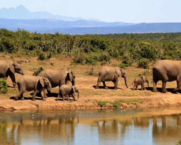 herd of elephants walking by water