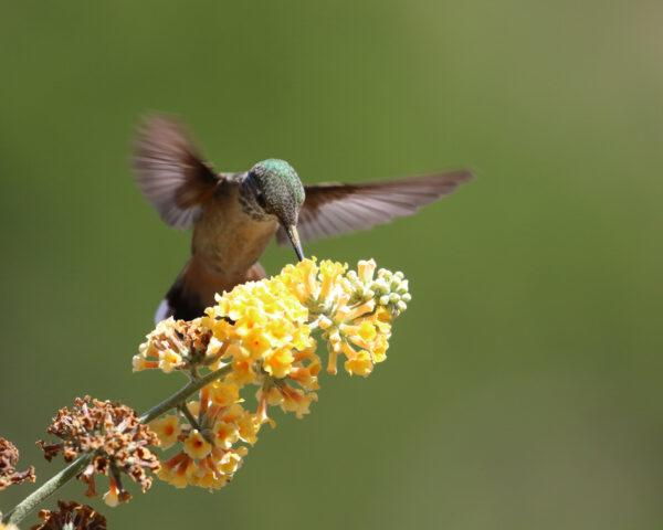 hummingbird pollinating cluster of tiny yellow flowers
