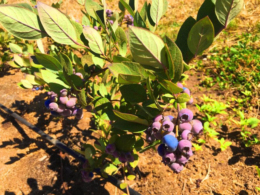 a berry bush with purple and blue-colored berries