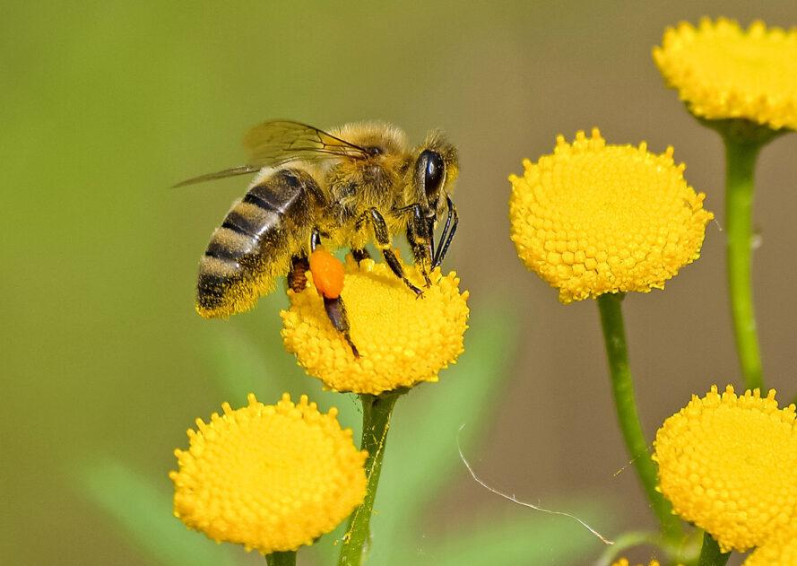 a bee on a yellow flower, surrounded by other yellow flowers