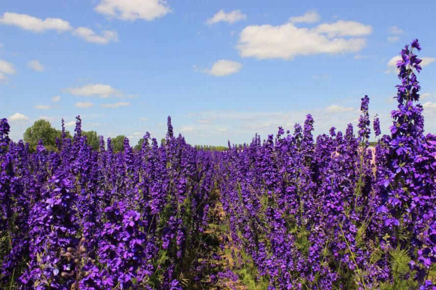a field full of purple flowers