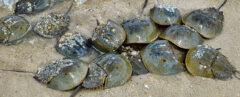group of horseshoe crabs on a beach