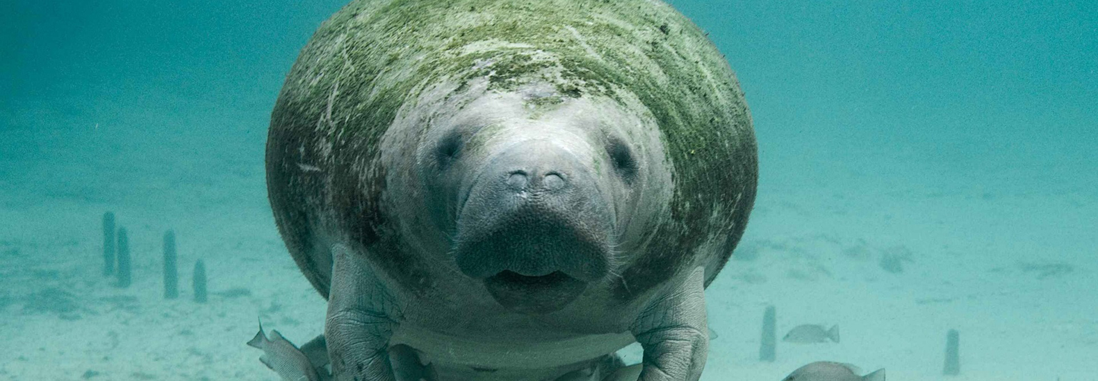 Effects of COVID-19 lead to increased deaths of Florida manatees