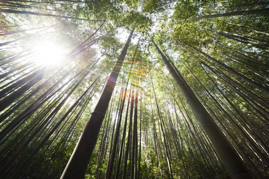 an image looking up at tall trees with sunlight filtering through the foliage