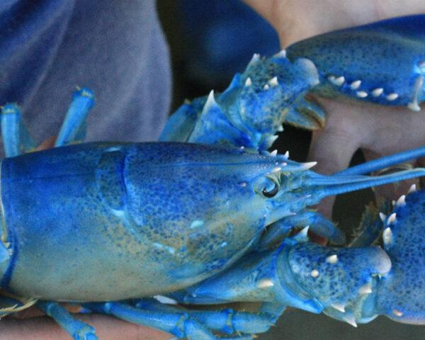 a blue lobster with its claws rubberbanded shut