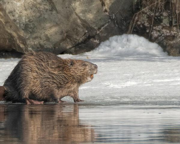beaver walking near water in snowy landscape
