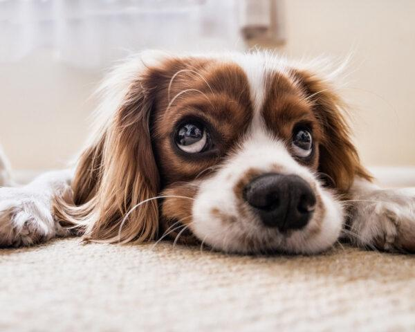 orange and white dog making sad face while lying on rug