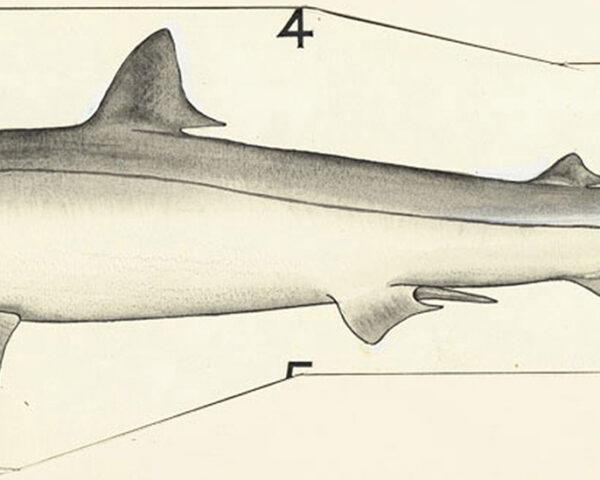drawing of a school shark