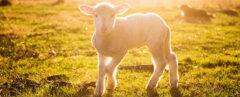 a lamb in the sunlight, walking on grass