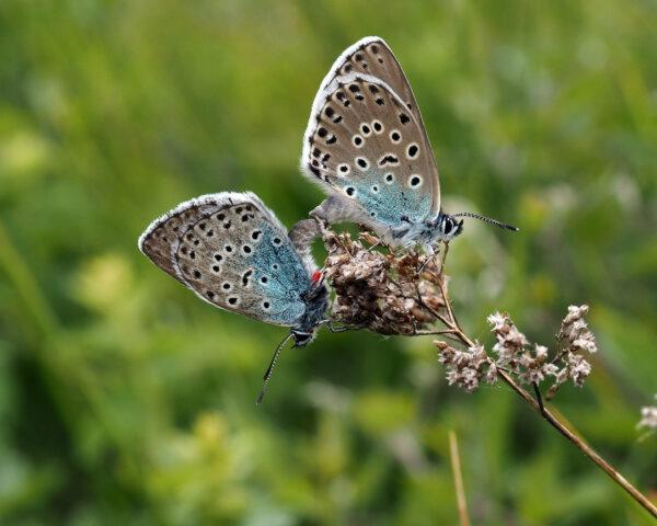 Mating pair of large blue butterflies on Rodborough Common. Credit Sarah Meredith
