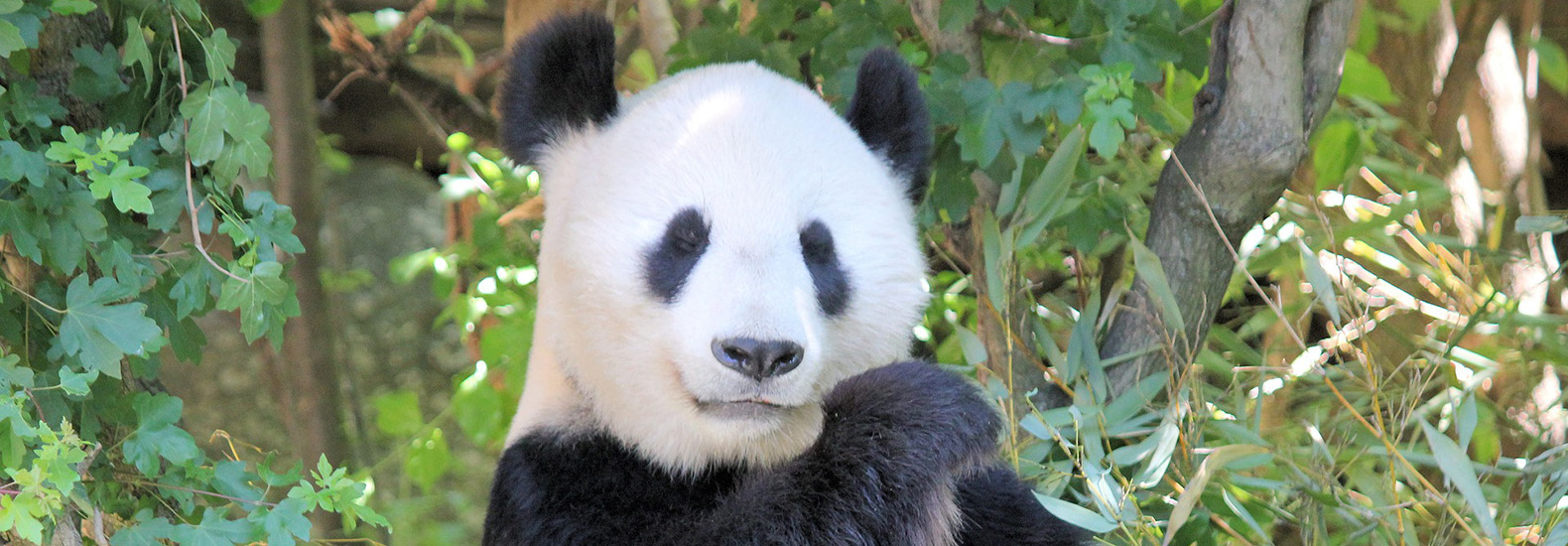 Panda conservation efforts lead to unexpected losses