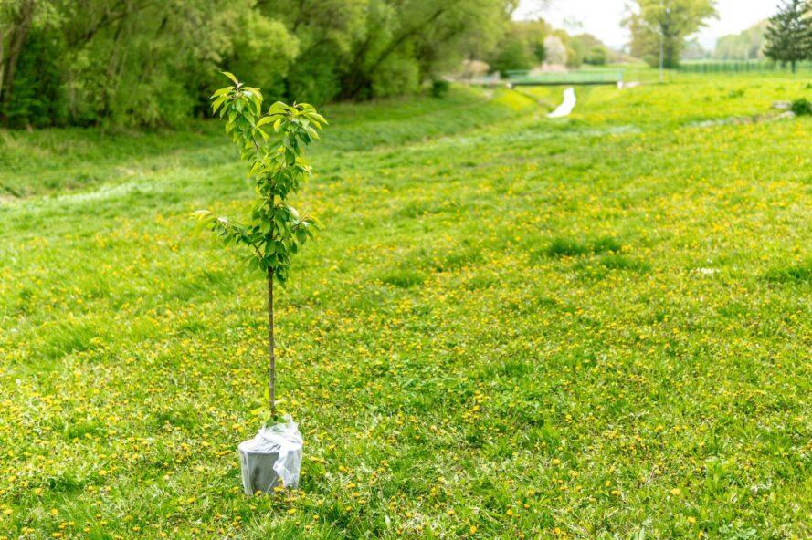 young tree in planter about to be planted in a park