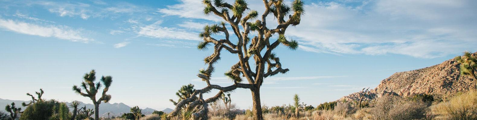 joshua tree in a desert