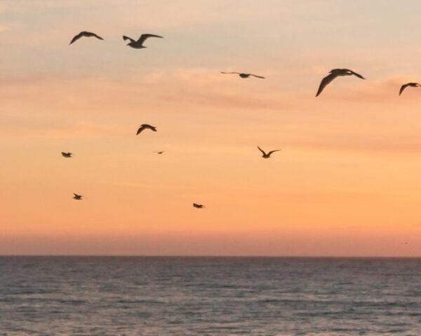 migratory birds flying over ocean at sunset