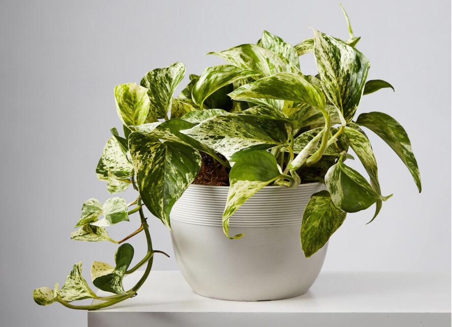 a green potted plant with a leafy vine that spills out of the pot.