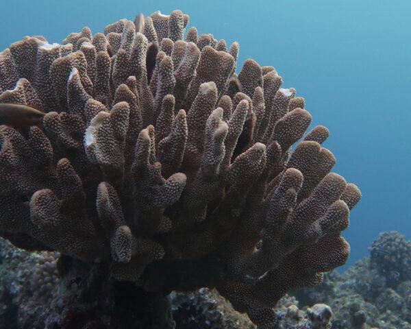 bleached coral in Great Barrier Reef