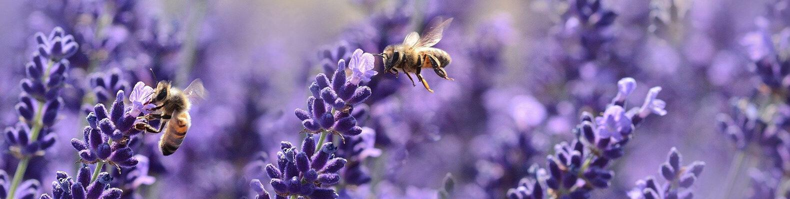 two bees on lavender plants