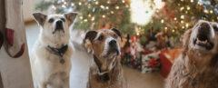 three dogs sitting in front of a Christmas tree