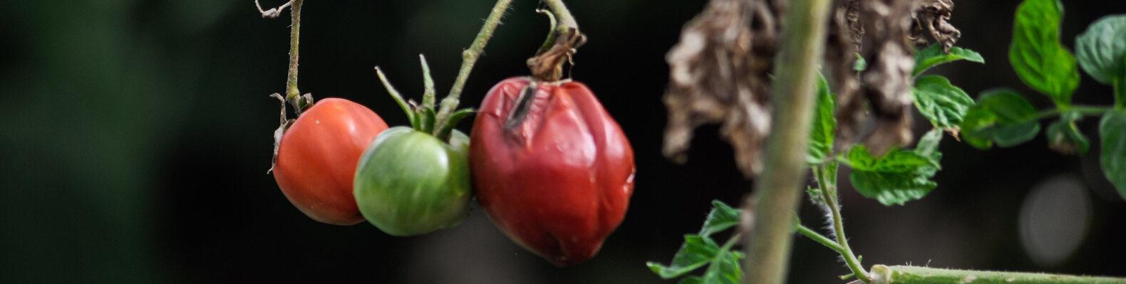 rotting tomato on the vine