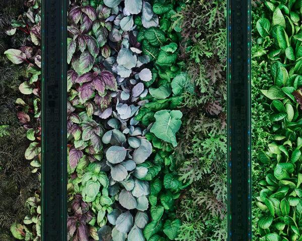 closeup of microgreens growing in a vertical farm